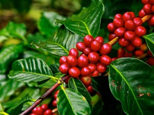 Top 5 States Where You Can Take A Stroll Through Coffee Forests
