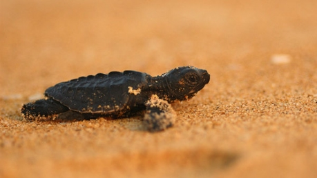 Velas - Home To Olive Ridley Turtles