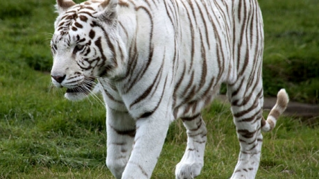 Expedition To Rewa - World's First White Tiger Sanctuary
