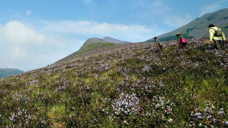 After 12 Years The Majestic Neelakurinji Flowers Are Set To Veil The Green Valleys Of Munnar