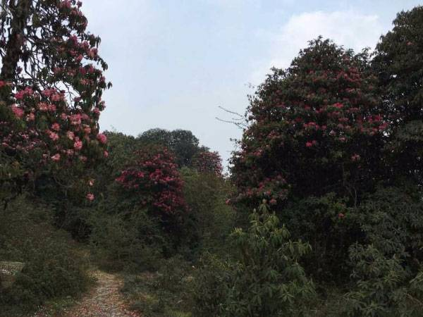 Trek Through The Pink Blossoms At The Barsey Rhododendron Sanctuary