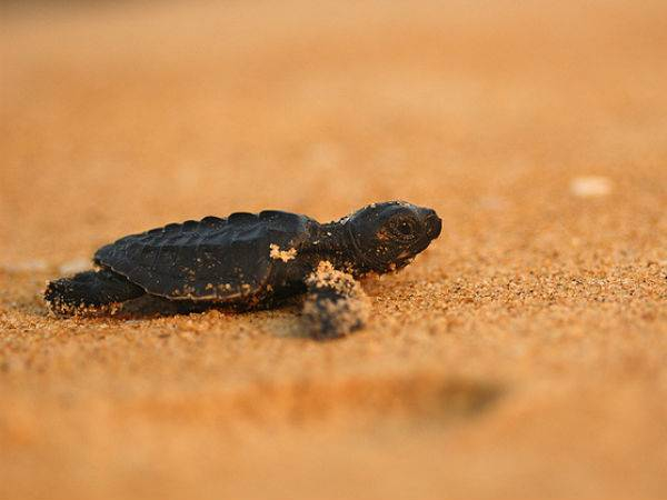 Velas Home To Olive Ridley Turtles