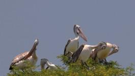கொக்கரே பெல்லூர்