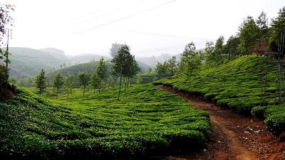 चाय व मसालों के बागान