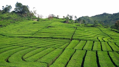 सिन्नोमोरा चाय बागान