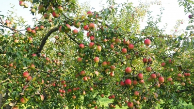Apple And Plum Orchards