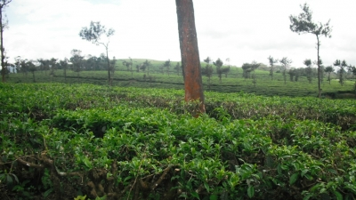Nillai Tea Estate