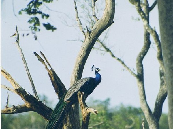 Bandipur photos, Bandipur National Park - Peacock On A Tree Top