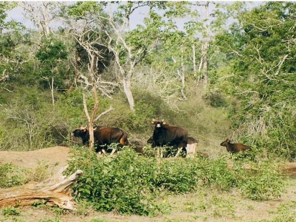 Bandipur photos, Bandipur National Park - Bison