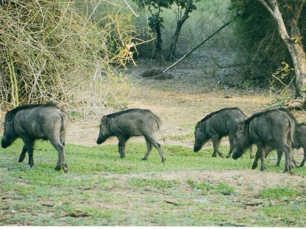 Bandipur photos, Bandipur National Park - Wild Boars