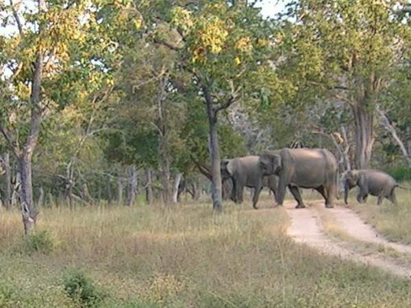 Bandipur photos, Bandipur National Park - Elephants Cross A Road