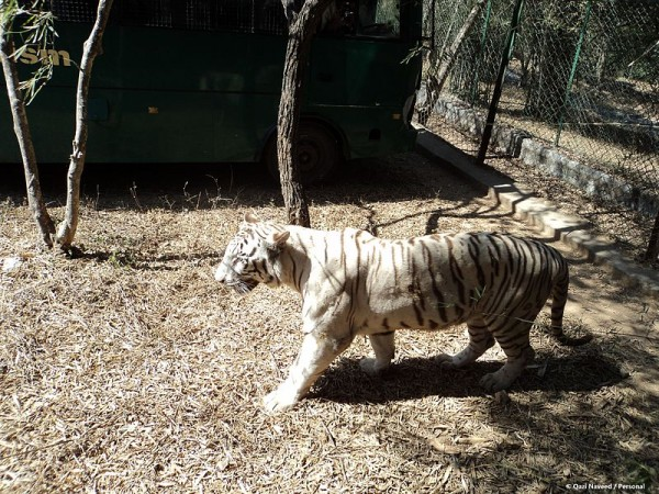 Bannerghatta photos, Bannerghatta National Park - White Tiger