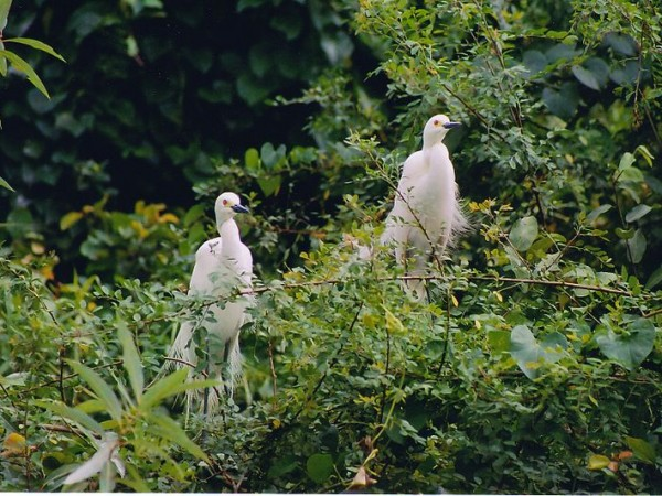 Srirangapatna photos, Ranganthittu Bird Sanctuary - White Peacock