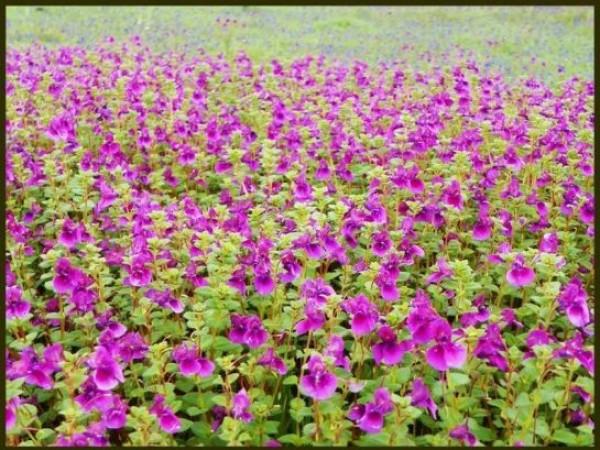 Satara photos, Kaus Talav and Kaus Plateau - Flowers