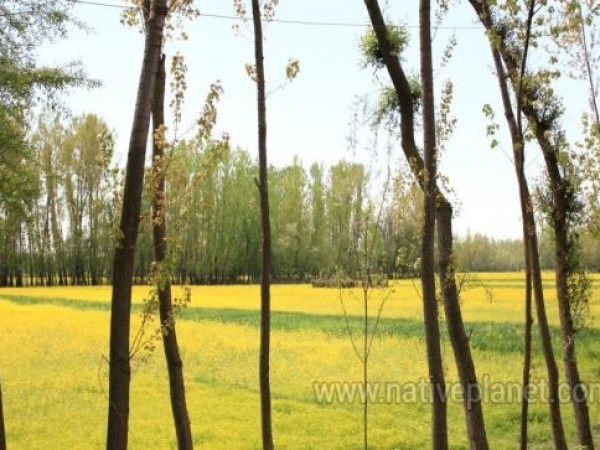 Srinagar photos, Dal Lake - Mustard Fields