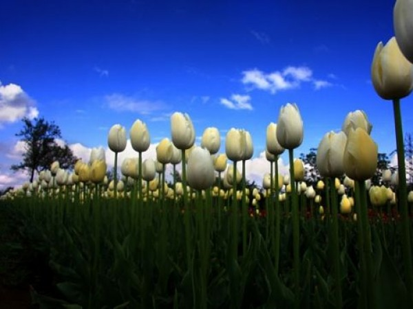 Srinagar photos, Indira Gandhi Tulip Garden - White Buds