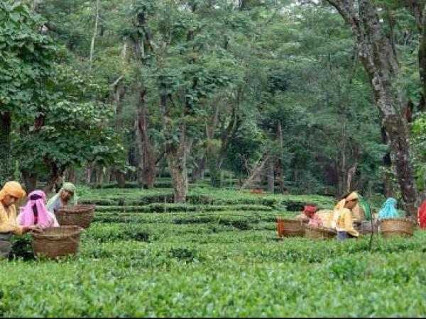 Palampur photos, Tea Gardens - Tea plucking