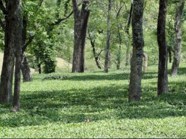Palampur photos, Tea Gardens - The garden