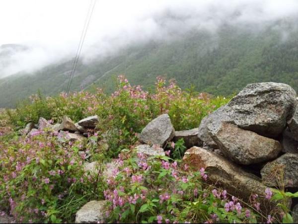 Sangla photos, Chitkul - Flowers