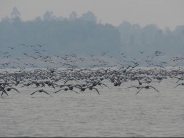 Kangra photos, Pong Lake Sanctuary - Flying birds