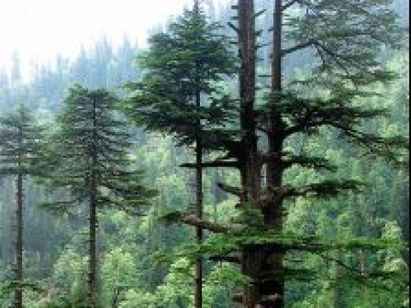 Manali photos, Manali Wildlife Sanctuary - Cedar Trees at Sanctuary