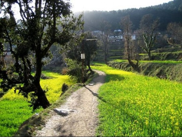 Dharmashala photos, Dharamkot - Green mustard plants