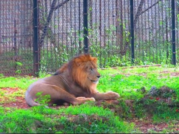 Mysore photos, Mysore Zoo - A Lion