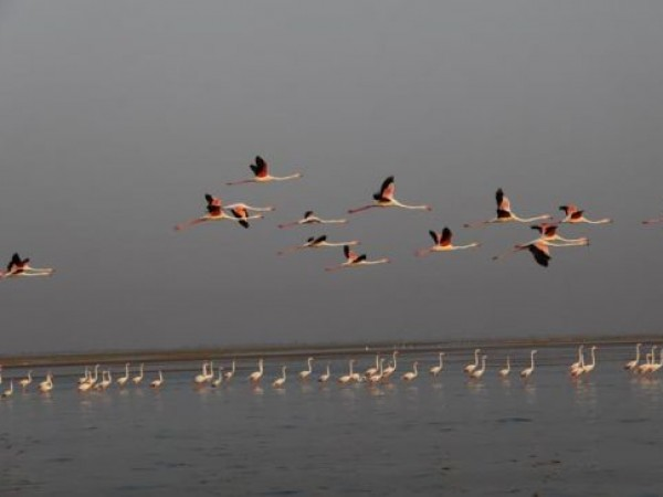 Ahmedabad photos, Nalsarovar Bird Sanctuary - Flamingos