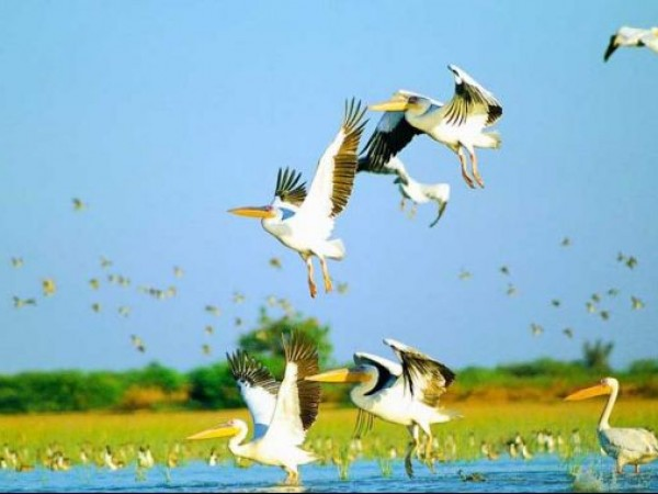 Ahmedabad photos, Nalsarovar Bird Sanctuary - Dalmation Pelicans