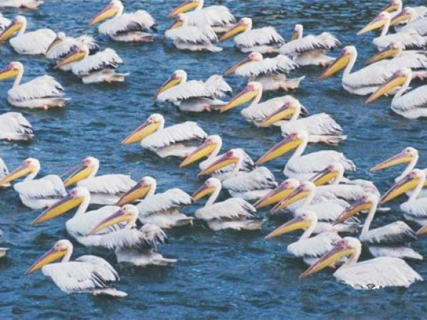 Ahmedabad photos, Thol Lake Bird Sanctuary - Feathery Pelicans