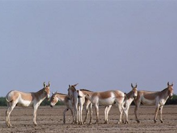 Kutch photos, Little Rann- Wild Ass Sanctuary - Wild Ass Sanctuary, Kutch