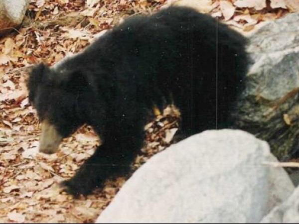 Palanpur photos, Jessore Sloth Bear Sanctuary - a sloth bear wandering in search of food...