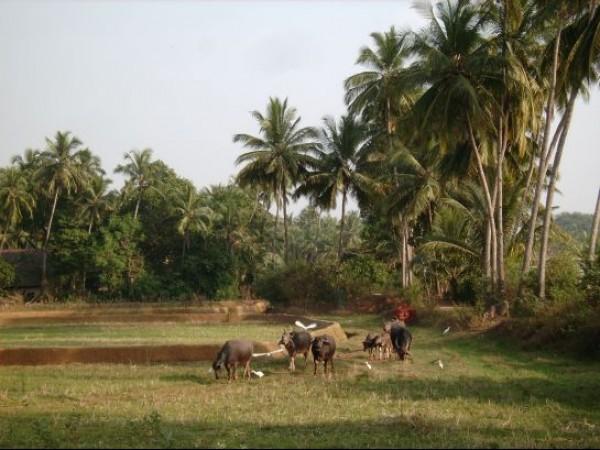 Goa photos, Pernem - Farm