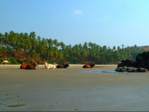Goa photos, Vagator Beach - RelaxingCows...