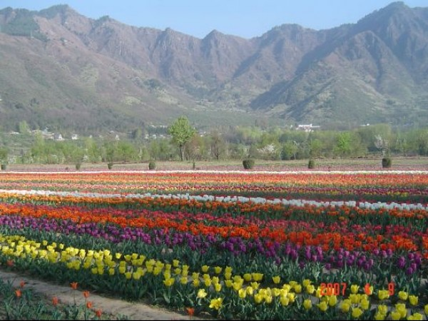 Srinagar photos, Indira Gandhi Tulip Garden - Carpet of Flowers