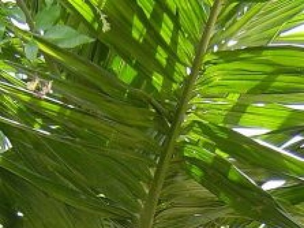 Shimoga photos, The Areca Nut Tree