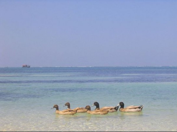 Lakshadweep photos, Kavaratti - Sailing Ducks