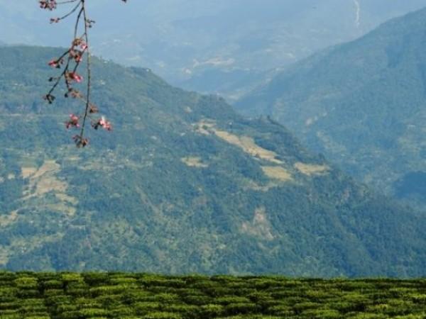 Namchi photos, Temi Tea Garden