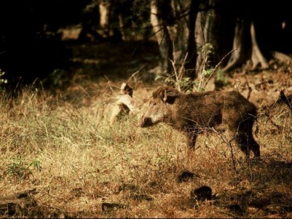 Ranthambore photos, Ranthambore National Park - Wild Boar