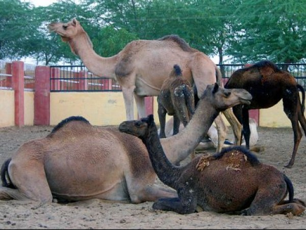 Bikaner photos, Camel Breeding Farm