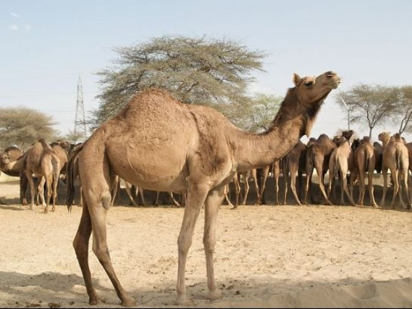 Bikaner photos, Camel Breeding Farm - Camels at farm