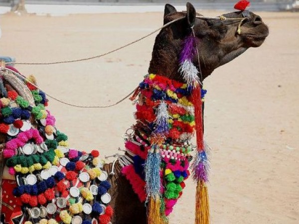 Pushkar photos, Pushkar Bazaar - Decorated Camel