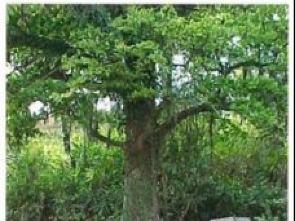 Wayanad photos, Chain Tree - A Close View
