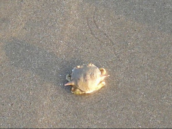 Kannur photos, Kizhunna Ezhara Beach - Crab