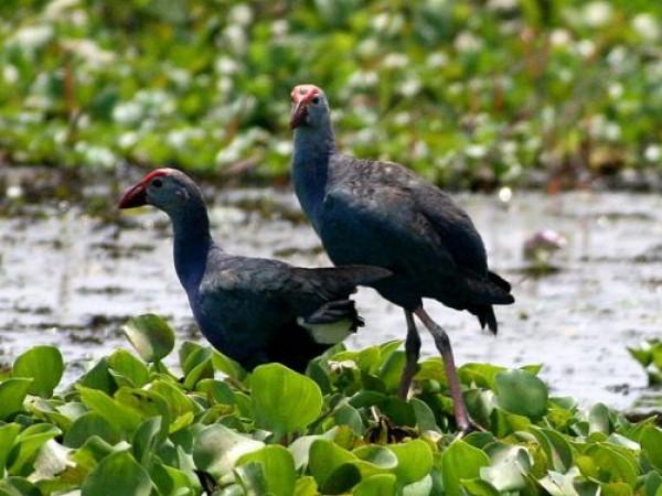 Kumarakom photos, Vembanad Lake - swamphen