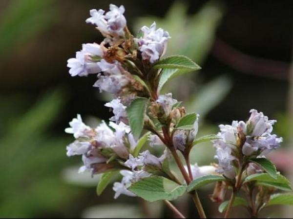 Idukki photos, Kurinjimala Sanctuary - Flowers