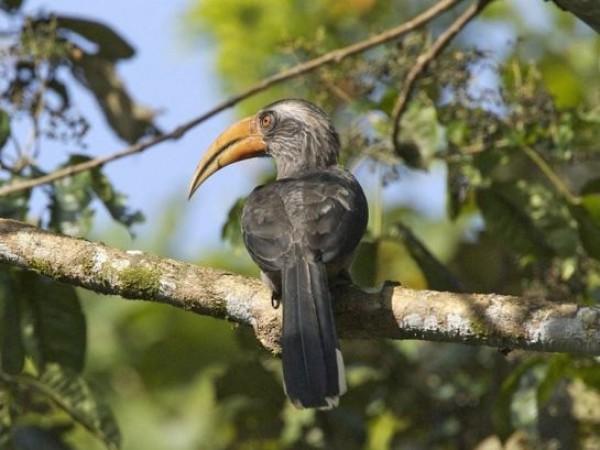 Idukki photos, Thattekkad Bird Sanctuary - Hornbill