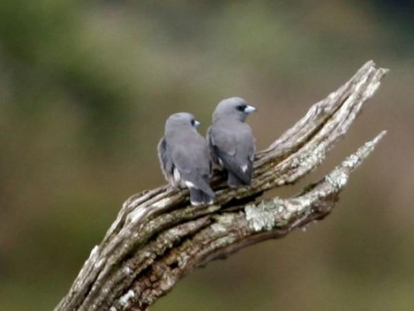 Idukki photos, Thattekkad Bird Sanctuary - Woodswallows