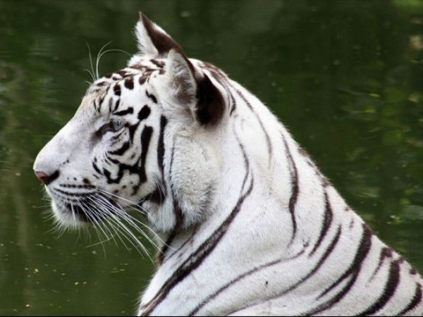 Delhi photos, National Zoological Park - White Tiger