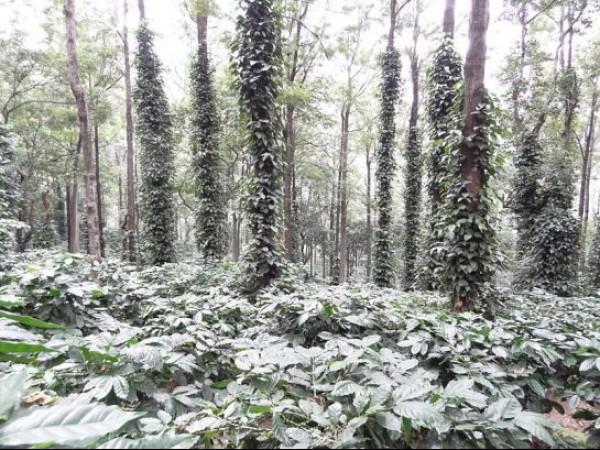 Araku Valley photos, Coffee Plantations on Ananthagiri Hills - Coffee Plantation